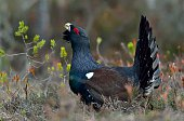 Capercaillie (Tetrao urogallus) male in the spring forest. The western capercaillie (Tetrao urogallus), wood grouse, heather cock or capercaillie during the courting season.