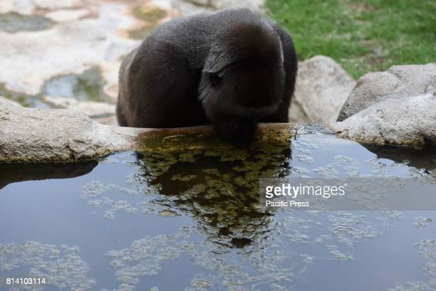 The Western lowland gorilla 'Yangú' drinking water at Madrid zoo where high temperatures reached up 40º degrees during the afternoon hours