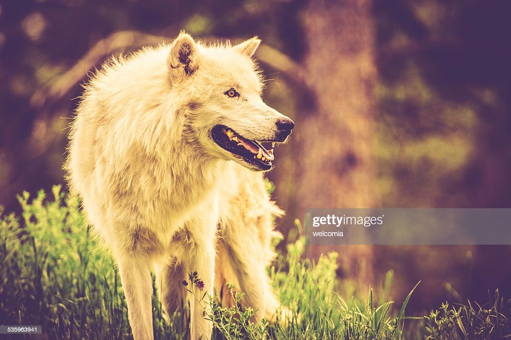 The White Alpha Wolf : Stock Photo
