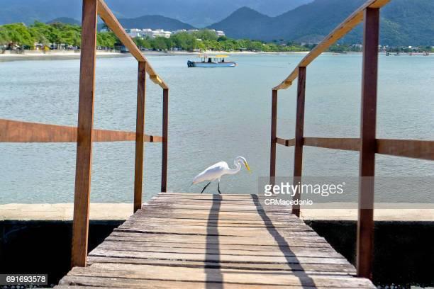 The white heron walking.