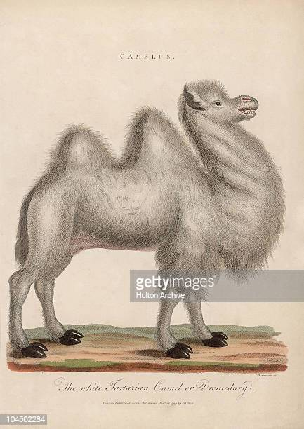 'The white Tartarian Camel or dromedary' circa 1799 Engraving by J Chapman
