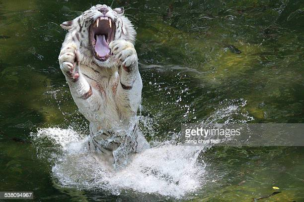 The white tiger in action