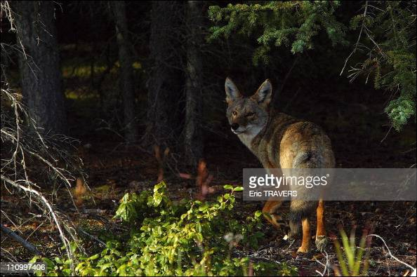 The wild animals featured in 'The Last trapper' a film by Nicolas Vanier The coyote is one of the seven members of the dog family in Canada The...