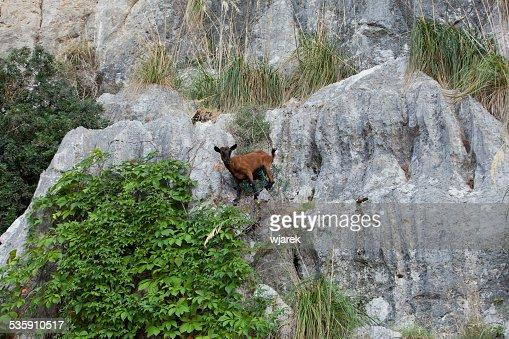 the wild Mallorcan goat : Stock Photo