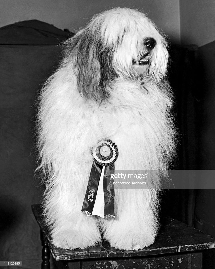 The winner of 'best of breed' in the Old English sheepdog class at the Westminster Kennel Club event in Madison Square Garden New York New York...