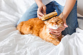 The woman combs a dozing cat's fur. Ginger cat's head lies on woman hand. The fluffy pet comfortably settled to sleep. Cute cozy background, morning bedtime at home.