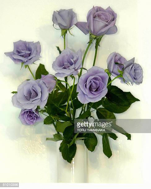The world's first 'blue roses' developed by Japanese brewer Suntory are displayed during a press conference in Tokyo 30 June 2004 The company created...