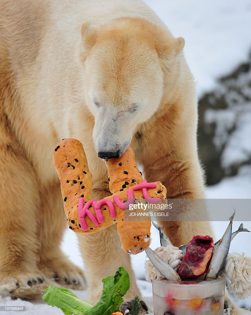 The world's most famous polar bear Knut eats his 'birthday cake' on his fourth birthday in his snow-covered enclosure at the Tiergarten zoo in Berlin, on December 5, 2010 in Berlin.