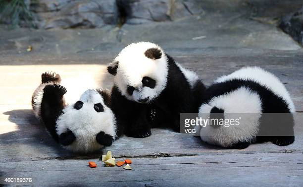 The world's only live panda triplets play together at Chimelong Safari Park on December 9 2014 in Foshan China The world's only live giant panda...