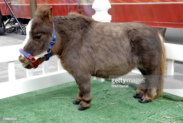worlds smallest horse stock photos and pictures getty