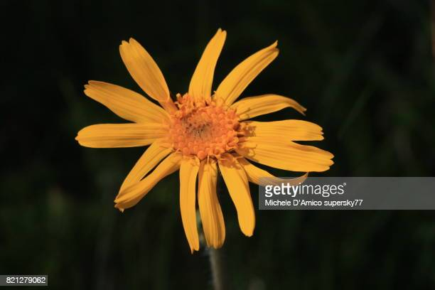 The yellow flowers of Arnica montana
