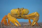 The Yellow Land Crab (Gecarcinus lagostoma), close-up