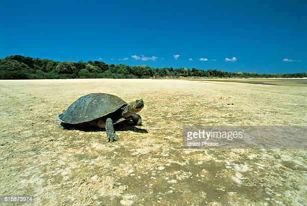 The Yellowspotted River Turtle is one of the largest South American river turtles in Portuguese known as tracaja or tracaxa Bananal island Amazon...