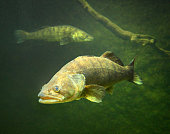 The Zander or Pike-perch (Sander lucioperca). Underwater photography from fresh water lake.