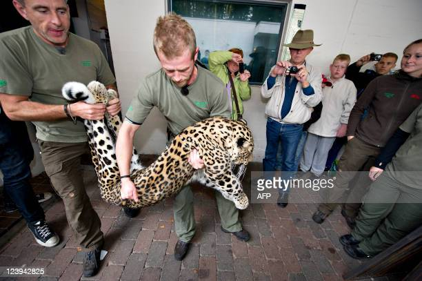 The zookeepers Mikkel Kibsgaard and Frank Thomas carry the 4yearold male leopard BamBam in Aalborg Zoo on September 6 2011 BamBam started Tuesday...