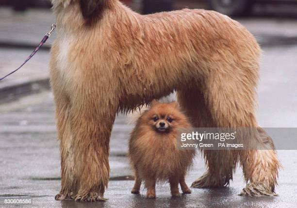 Theo a four a half year old Pomeranian dog takes cover from the rain under Meme a 10 month year old Afghan Hound at a photocall in central London for...