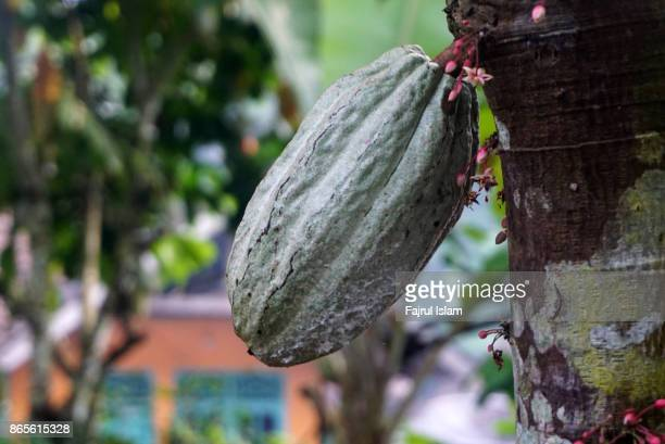 Theobroma cacao or Cacao fruit hanging from the tree