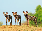 Scenic view of wild dogs (Lycaon Pictus) - Painted Dogs standing on topof a sandbank surveying the area after a recent Kill, with a bright blue clear sky background. South Luangwa National Park, Zambi