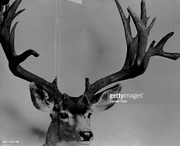 There'll No Passing This Buck Come Oct 15 Actually this spectacular trophy comes from the pjc ture files of The Denver Post and won't be available to...