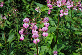 These are flowers of Indian balsam ((Impatiens glandulifera)), also known as Himalayan balsam, policeman's helmet and ornamental jewelweed. This is an invasive riverside plant now common in the UK and
