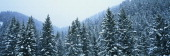 These are snow covered Douglas Fir trees in the BridgerTeton National ForeSt