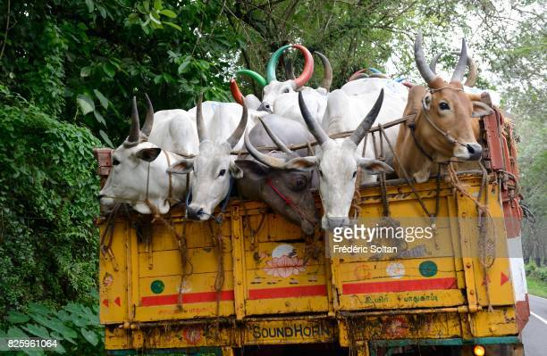 These cows from the state of Tamil Nadu will be sold on a market in Kerala where a strong Christian population eats meat Cows are sacred to Hindus...