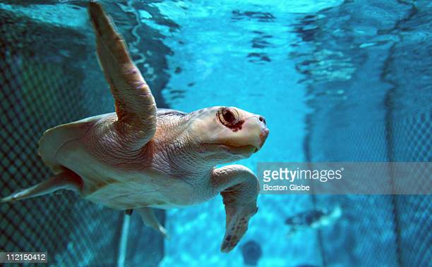 These Kemp's Ridley turtles considered the smallest marine turtles in the world are being held at the New England Aquarium in Boston MA because they...