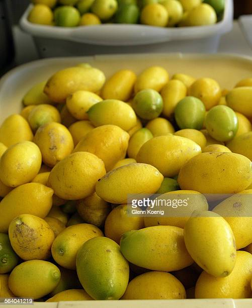 These limequats are ready to be tasted at the Orange Blossom Festival Limequats were developed by the USDA in 1909 to provide a more cold tolerant...