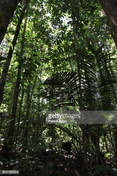 Thick canopy of trees French Guiana is haven for plants and animals with ninety percent of the area under tropical rainforests the country has about...