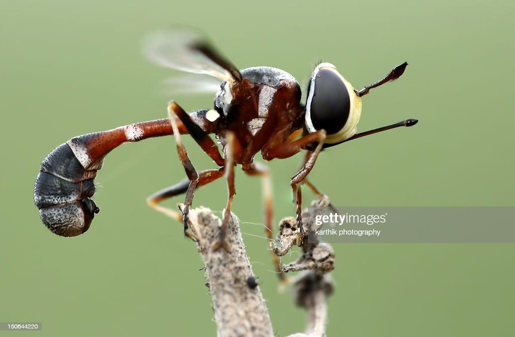 Thick headed fly : Stock Photo