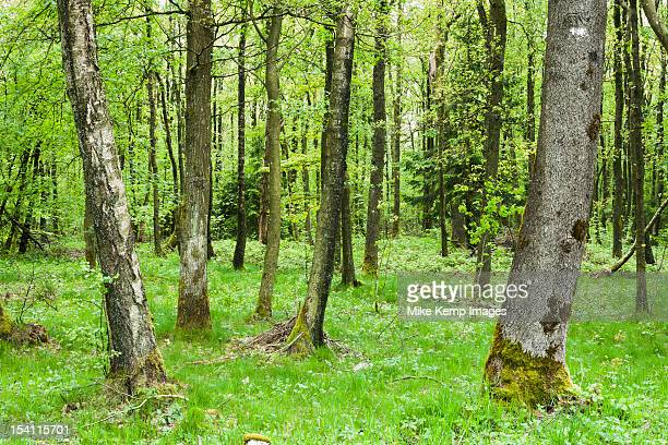 Thick trees in Ardennes Forest, France