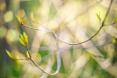 Thin bush twig with unfolding leaves, abstract blurred springtime background, shallow depth of field