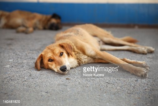 Thin stray dogs lie in street of Tibet monastery : Stock Photo