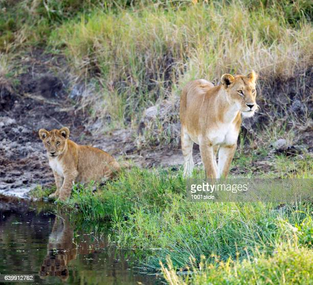 Thirsty Lioness and lion cub drinking