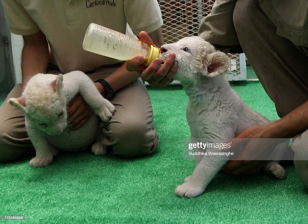 Thirteen day old lioness cubs are fed by zoo keepers at Himeji Central Park on July 9, 2013 in Himeji, Japan. The seven white lioness cubs, given birth by three female South African Lions were born on June 6th, 26th and 30th. The cubs will be on public display for the first time later this week.