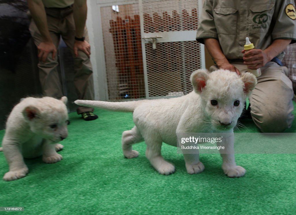 Thirteen day old lioness cubs walk after a feed at Himeji Central Park on July 9, 2013 in Himeji, Japan. The seven white lioness cubs, given birth by three female South African Lions were born on June 6th, 26th and 30th. The cubs will be on public display for the first time later this week.
