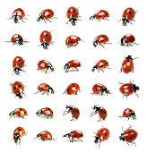 thirty ladybugs