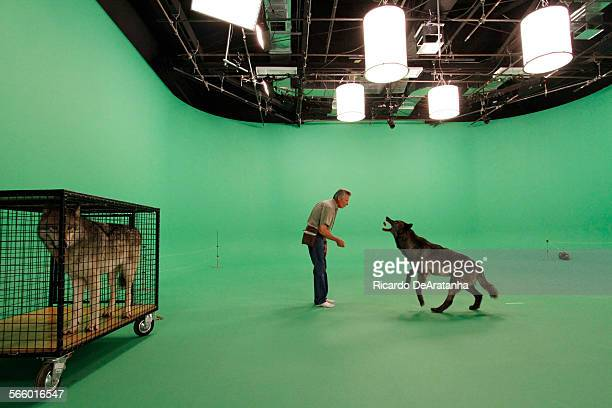 HOLLYWOOD CA APRIL 11 2013 This a trainer named Steve Martin who is working with a gray wolf for shot on a green screen at Hollywood Center Studios...