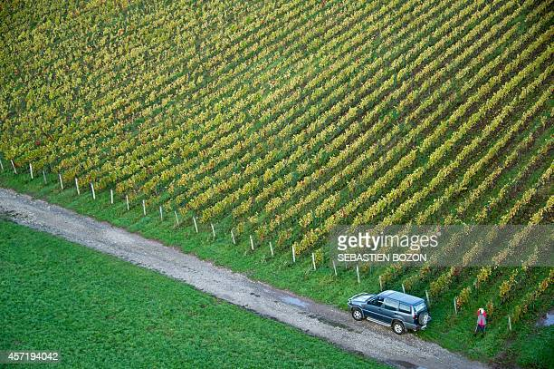 This aerial picture taken on October 14 2014 shows cows in the vineyard of Jura in Arbois AFP PHOTO / SEBASTIEN BOZON