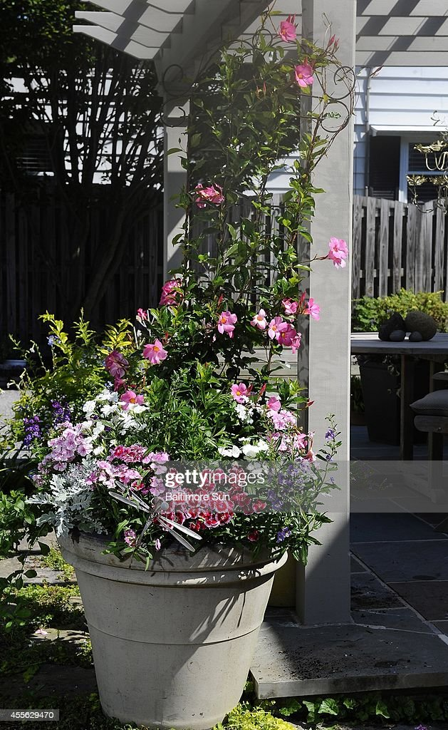 This ambitious container garden created by Leigh Barnes owner of Companion Plantings in Towson Md contains Mandevilla Pink Angelonia Angel Series...