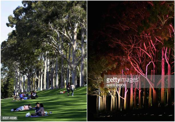 This combo of photos taken 31 July 2005 in daylight and 01 August 2005 at night under coloured lights show the majestic lemon scented gums lining the...