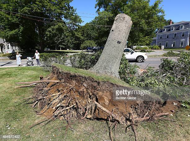 This couple stops to glance at the remnants of this uprooted tree on the lawn of the Ipswich Museum's Whipple House Some of the aftermath of the...