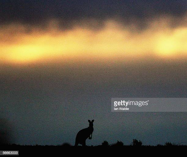 This file photo from June 7 2005 shows a Kangaroo sitting on the horizon at Leigh Creek South Australia The Kangaroo is a marsupial mammal which...