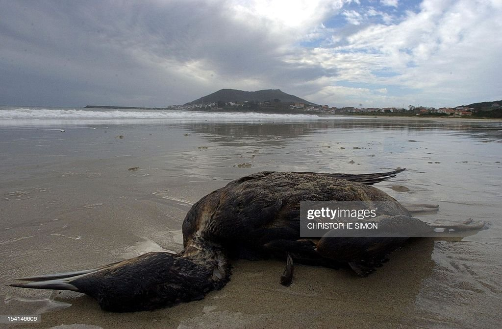 This file picture dated November 22 2002 shows a dead bird covered with oil on Langosteria beach near Finisterre cap after the sinking of the...