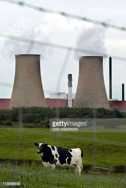 This file picture taken on September 26 2002 shows a cow grazing on a field next to Sellafield nuclear plant in North England British police said on...