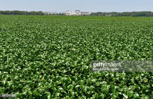 This general view shows water hyacinth covering a major portion of the polluted Bellandur Lake in Bangalore on March 24 2017 The Karnataka State...