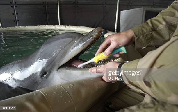 This hand out photo from the US Navy show Signalman 2nd Class Diver Harlold Bickford a mammal handler from Commander Task Unit brushing the teeth of...