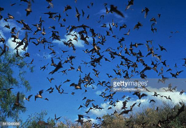 This horde of bats could contain possible carriers of the rabies virus 1972 Most of the recent human rabies cases in the United States have been...