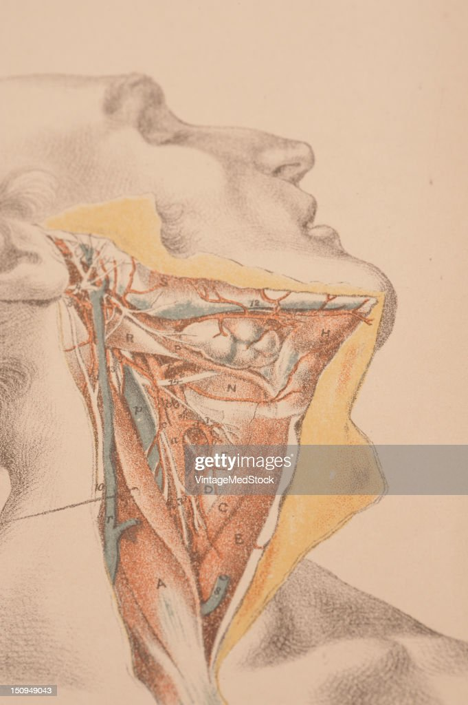 This image shows the carotid artery blood vessels nerves salivary glands and some lymphatic glands 1882 From 'Illustrations of Dissections in a...