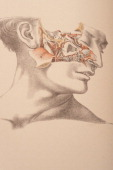 This image shows the fifth cranial nerve sinus cavity facial nerves and part of the maxillary artery 1882 From 'Illustrations of Dissections in a...
